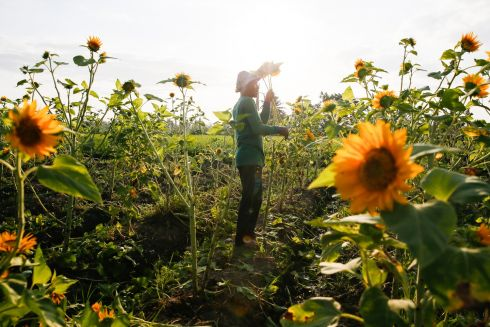 IN FLOWER: A farmer harvests sunflowers at a farm in Bali, Indonesia. Photograph: Made Nagi/EPA
