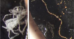 Microplastics found in Irish marine sediments. Let: A frayed and tangled fibre from Galway Bay's North Sound. Right: A heavily biofouled transparent fibre from the Aran Grounds. Photograph: Martin et al