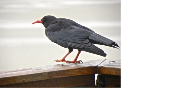 A chough in Co Kerry
