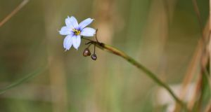Blue-eyed grass: one of the Sisyrinchium bermudiana plants that Kieran Griffin photographed in Co Kerry