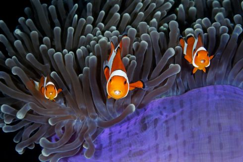 The insiders by Qing Lin (China): Each anemone fish has an extra pair of eyes inside its mouth – those of a parasitic isopod that enters as a larva via the fish's gills, moves to its mouth and attaches its legs to the base of the tongue. Finalist 2017, Under Water Photograph: Qing Lin/2017 Wildlife Photographer of the Year