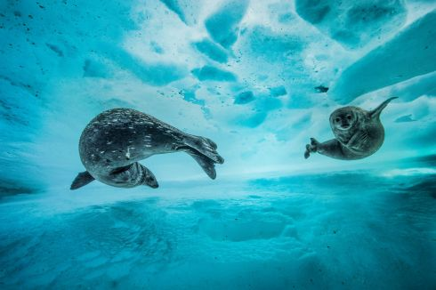 Swim gym by Laurent Ballesta (France): A mother introduces her pup to the icy water in east Antarctica in early spring. The pair slide effortlessly between the sheets of the frozen water. Finalist 2017, Behaviour: Mammals Photograph: Laurent Ballesta/2017 Wildlife Photographer of the Year