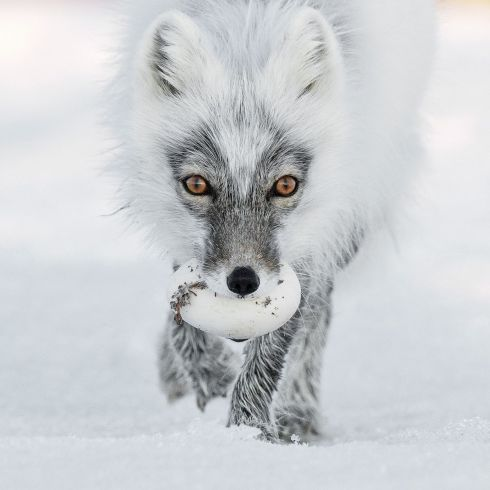 Arctic treasure by Sergey Gorshkov (Russia): An arctic fox carries its egg trophy from a raid on a snow goose nest and heads for a suitable burial spot. Finalist 2017, Animal Portraits. Photograph: Sergey Gorshkov/2017 Wildlife Photographer of the Year