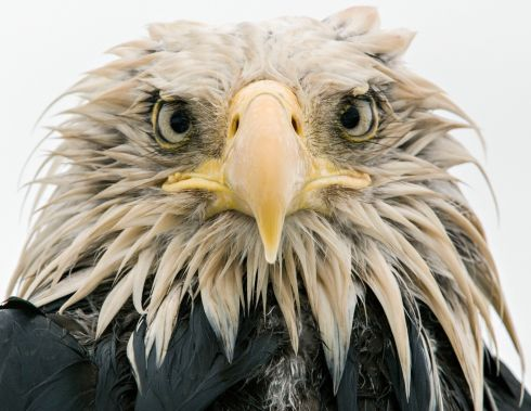 Bold eagle by Klaus Nigge (Germany): After several days of constant rain, the bald eagle was soaked to the skin. Full concentration on the eagle's expression created an intimate portrait, enhanced by the overcast light of the rainy day. Finalist 2017, Animal Portraits. Photograph: Klaus Nigge/2017 Wildlife Photographer of the Year
