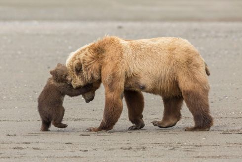Bear hug by Ashleigh Scully (US): After fishing for clams at low tide, a mother brown bear leads her spring cubs back across the beach to the nearby meadow. But one young cub wants to stay and play. Finalist 2017, Young Wildlife Photographer of the Year, 11-14 Years. Photograph: Ashleigh Scully/2017 Wildlife Photographer of the Year