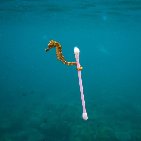 Sewage surfer by Justin Hofman (US): This tiny estuary seahorse 'almost hopped' from one bit of bouncing natural debris to the next, bobbing around on a reef near Sumbawa Island, Indonesia. As a brisk surface wind picked up, the seahorse took advantage of something that offered a stable raft: a waterlogged plastic cottonbud. Finalist 2017, The Wildlife Photojournalist Award: Single Image Photograph: Justin Hofman/2017 Wildlife Photographer of the Year