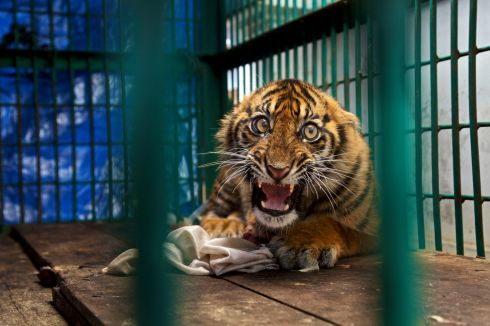 Saved but caged by Steve Winter (US): The back leg of this Sumatran tiger cub was so badly mangled by a snare it had to be amputated. He was trapped for four days before being discovered in a rainforest on the Indonesian island of Sumatra. It is likely the snare was set by oil-palm plantation workers. Finalist 2017, The Wildlife Photojournalist Award: Single Image. Photograph: Steve Winter/2017 Wildlife Photographer of the Year
