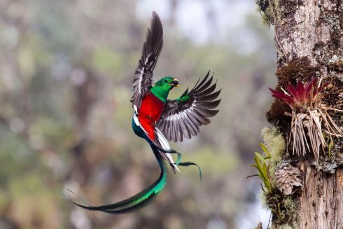 Resplendent delivery by Tyohar Kastiel (Israel): Tyohar watched the pair of resplendent quetzals for more than a week as they delivered fruits to their two chicks. Resplendent quetzals usually nest in thicker forest, but this pair had picked a tree in a partly logged area in the Costa Rican cloud forest of San Gerardo de Dota. The additional light made it easier for Tyohar to catch the iridescent colour of the male's dazzling emerald and crimson body plumage and tail streamers. Finalist 2017, Behaviour: Birds. Photograph: Tyohar Kastiel/2017 Wildlife Photographer of the Year