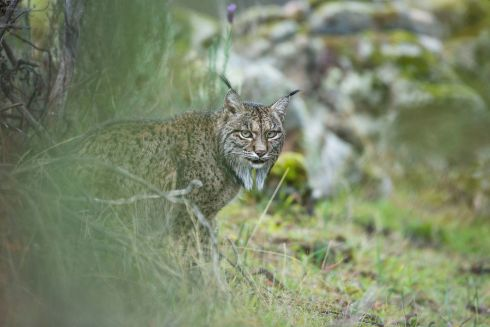 Glimpse of a lynx by Laura Albiac Vilas (Spain): Laura travelled to the Sierra de Andújar natural park in Spain in search of the lynx and struck lucky on her second day – a pair were relaxing not far from the road. Finalist 2017, Young Wildlife Photographer of the Year, 11-14 Years. Photograph: Laura Albiac Vilas/2017 Wildlife Photographer of the Year. All text: Guardian