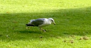 This bird was seen dancing in Trinity College Dublin.