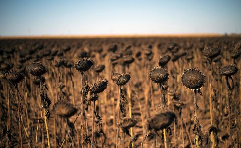 SUNNY BULGARIA: Dried sunflowers stand in a field near the village of Kamen Brag, Bulgaria. Temperatures of over 34 degrees Celsius are forecast in coming days in Bulgaria. Photograph: Vassil Donev/EPA