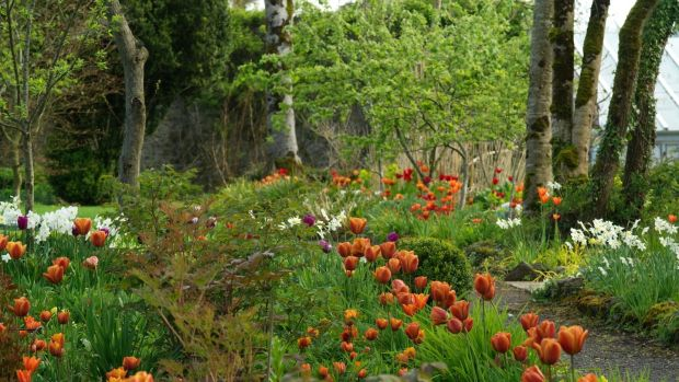 Tulip 'Cairo' growing en-masse in Angela Jupe's Offaly garden. Photograph: Richard Johnston