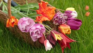A mixed basket of tulips from Angela Jupe's garden. Photograph: Richard Johnston