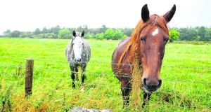 Horses  at the site  near Athenry in Co Galway  where Apple plans to build  a data centre. Photograph: Aidan Crawley