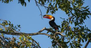 In the Pantanal: a toco toucan. Photograph: Wolfgang Kaehler/LightRocket via Getty