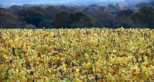 Autumnal vineyard: at this time of year we tend to choose wines with more texture. Photograph: Carl Court/Getty