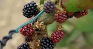 According to folk tradition, today is the last  day that blackberries can be safely eaten