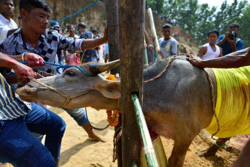 INDIAN SACRIFICE: A buffalo is prepared for sacrifice for the Durga Puja festival on the outskirts of Guwahati city, Assam, India. Several other animals including goats, pigeons, ducks and catfish are also sacrificed as a ritual during the week-long Hindu event. Photograph: EPA