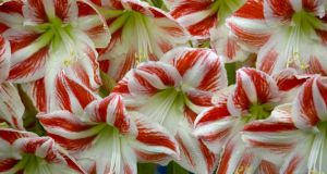 Amaryllis: Plant its giant fleshy bulbs into a pot in the next few weeks and you should have its tall, splendid, lily-like blooms in time for Christmas when the plants make an excellent gift. Photograph: Getty