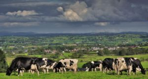 Cows graze near Markethill, Co Armagh.  Liquid milk tends to flow South-North in January-March and in the autumn, and North-South the rest of the year