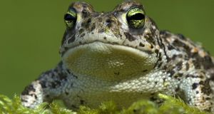 Under pressure: natterjack toad. Photograph: Do Van Dijck/PA Wire