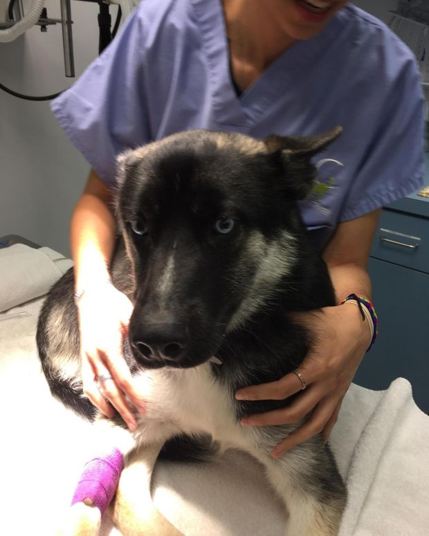 Po, a husky who is being neutered for his own safety