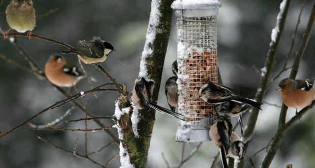 'Long-tailed tits feeding from a bird feeder in an Irish garden. Photograph: Oran O'Sullivan