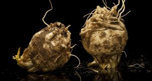 Celeriac's turnip-sized round root  is juicy and beautiful to eat raw or cooked