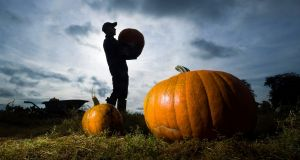 Pumpkin up the volume: Tom Hoggard harvests Halloween pumpkins at a farm in Yorkshire. Photograph: Danny Lawson/PA