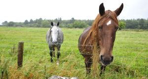 Horses  at the site in Derrydonnell near Athenry in Co Galway  where Apple is to build its European data centre. File photograph: Aidan Crawley