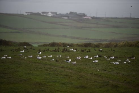 Gulls shelter in a field on the coast as storm Ophelia hits the County Clare peninsula of Loop Head. Photograph: Clodagh Kilcoyne / Reuters