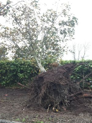 Uprooted tree in Co Limerick. Photograph: Thomas Hennessy