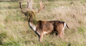 INCOGNITO: A deer with long grass caught on its antlers in the Phoenix Park, Dublin. Photograph: Gareth Chaney/Collins