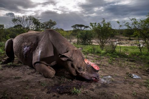 """Memorial to a species"" by Brent Stirton, winner of Wildlife Photographer of the Year 2017 and winner of The Wildlife Photojournalist Award: Story category in the competition organised by the Natural History Museum of the UK. A black rhino bull lies dead after its killers entered the Hluhluwe Imfolozi Park, South Africa illegally.  It emerged as the winning shot from almost 50,000 competition entries from 92 countries. Photograph: Brent Stirton/Wildlife Photographer of the Year/PA"