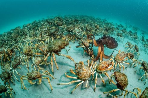 """ Crab surprise"" by Justin Gilligan, winner of the Behaviour: Invertebrates category in the Wildlife Photographer of the Year 2017 competition. Justin was busy documenting an artificial reef experiment when the army of crabs appeared, with an octopus acting 'like an excited child in a candy store', as it chose its final catch, Mercury Passage, Tasmania, Australia.  Photograph: Justin Gilligan/Wildlife Photographer of the Year/PA"