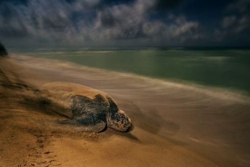"""The ancient ritual"" by Brian Skerry, winner of the Behaviour: Amphibians and Reptiles category in the Wildlife Photographer of the Year 2017 competition.  Like generations before her, this leatherback turtle journeys back to the ocean, Sandy Point National Wildlife Refuge, St. Croix, US Virgin Island Photograph: Brian Skerry/Wildlife Photographer of the Year/PA"