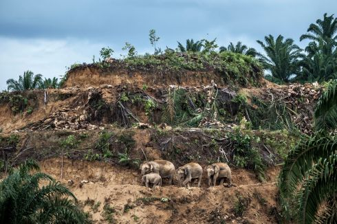 """Palm-oil survivors""  by Aaron Gekoski, winner of the Wildlife Photojournalist: Single image category in the Wildlife Photographer of the Year 2017 competition. A herd of Asian elephants picked their way through a cleared oil palm plantation, Sabah, Borneo, Malaysia.  Photograph: Aaron Gekoski/Wildlife Photographer of the Year/PA"