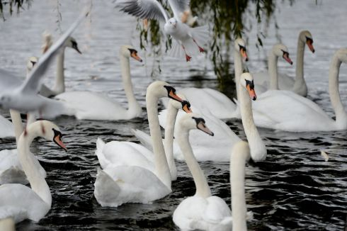 SWANNING ABOUT: Swans gather in the rain at Dublin's Portobello Bridge. Photograph: Alan Betson/The Irish Times