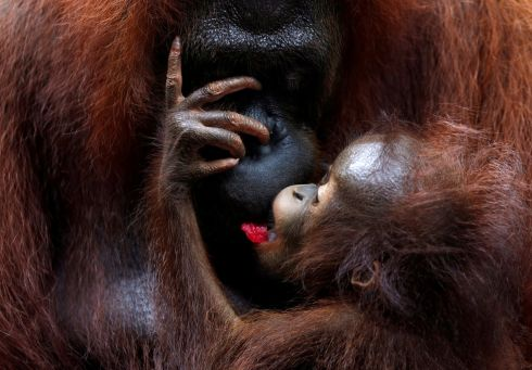 FAMILY WAY: A baby orangutan eats fruit supplied by a parent at Singapore Zoo. Photograph: Edgar Su/Reuters