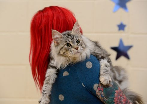FLUFFY TUFT: Dionne Dixon, from Aughrim, holding Lila, a Maine Coon cat who became champion in her class at  the 2017 Dublin Championship Cat Show at Knocklyon Community Centre. Photograph: Cyril Byrne/The Irish Times