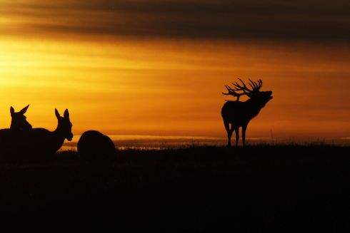 BELARUS: A reindeer silhouetted at sunset bellows near the village of Gorodilovichi, some 300km north of Minsk, Belarus. Photograph: Sergei Gapon/AFP/Getty Images