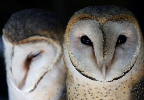 OWL FELLAS: A pair of barn owls at a rehabilitation and conservation centre at the Spier wine estate, near Cape Town, in South Africa. Photograph: Mike Hutchings/Reuters