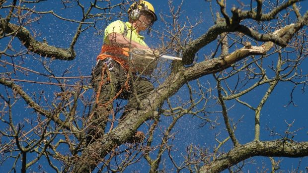 A trained and qualified tree surgeon working on a damaged tree. Photograph: Richard Johnston