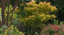 Mature trees and shrubs such as these shown growing in Helen Dillon's old Dublin garden are an important part of the charm of established gardens. Photo graph: Richard Johnston