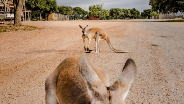 Three kangaroos that live in front of the Ox Ranch lodge in Uvalde, Texas. Photograph: Daniel Berehulak/New York Times