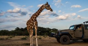 A giraffe named Buttercup moves closer to Buck Watson, a hunting guide, as he looks on from a vehicle at the Ox Ranch in Uvalde, Texas. Photograph: Daniel Berehulak/New York Times