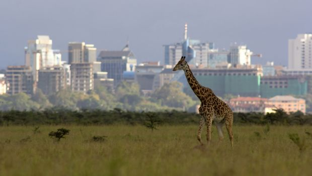A giraffe spotted against the Nairobi skyline. Photograph: Getty Images