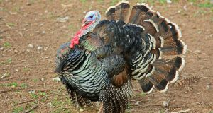 Once all but wiped out in New England, turkeys are all over the place again now