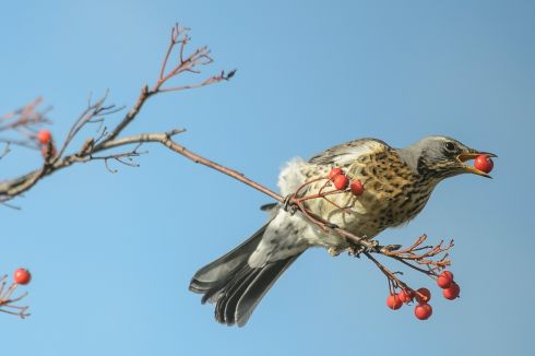 HAPPY OUT: A fieldfare (Turdus pilaris) sits on a branch eating rowan fruits, in Lublin, Poland. Photograph: Wojciech Pacewicz/EPA