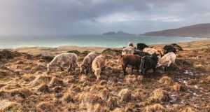 Cows about to get wet again. Yet another shower blows in over St Finian's Bay. Photographs: John Wesson